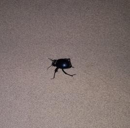 Gros scarabée