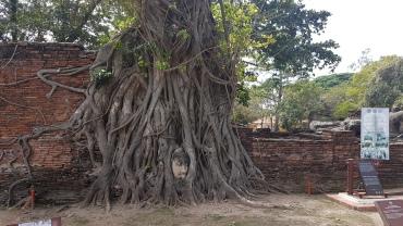 Tête de bouddha dans l'arbre