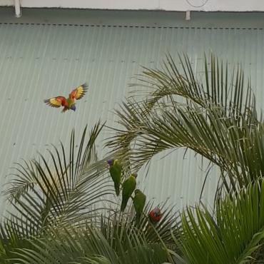 Les perruches sous notre fenêtre !